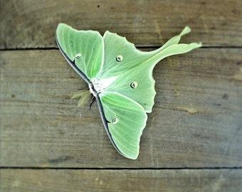 Luna Moth Photo 5x7 Signed Print Green Butterfly Wall Art