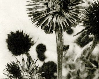Winter Bloom. Black and white photogravure. Nature print.