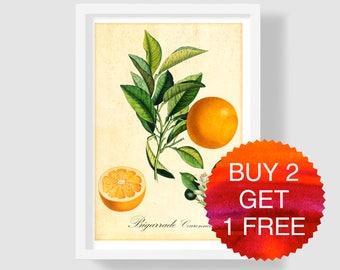 Vintage Orange Art Print, Orange Wall Art, Orange Art Poster, Orange Botanical Illustration, Orange Decor, Orange Copper Engraving, Poiteau
