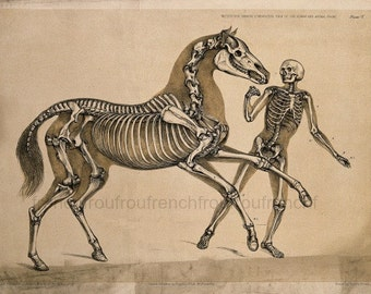 antique victorian anatomical print man and horse skeletons illustration DIGITAL DOWNLOAD