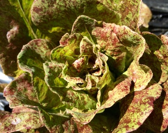 Speckled Lettuce - 250 Seeds (Heirloom) Butterhead