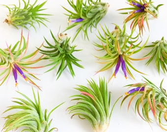 Two Air Plants // Tillandsia Mexican Fuego // Pack of Two Air Plants