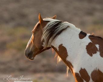 Picasso at Dawn - Fine Art Wild Horse Photograph - Wild Horse - Picasso - Sand Wash Basin - Fine Art Print