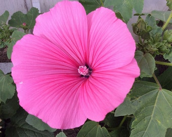 SALE! Lavatera 'Twins Hot Pink' Seeds
