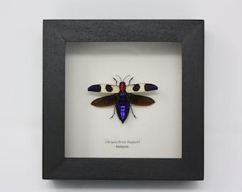 Real Fire headed Jewel beetle !