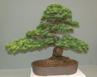 Bonsai - CHINESE WHITE PINE  (Pinus Armandii) 5 seeds