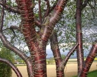 100 Paperbark Cherry Tree Seeds, Prunus serrula