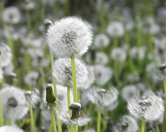 Dandelion seeds dandelions for hollow beads glass globes
