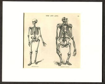 1865 Antique Print of Anatomy Human Skeleton and Ape Skeleton