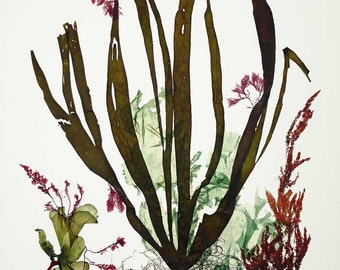 Seaweed Art, Pressed seaweeds, Sea weed Pressings, Natural Kelp Seaweed Artwork,  Beach cottage decor, Alganet Original algae Collage 22x29