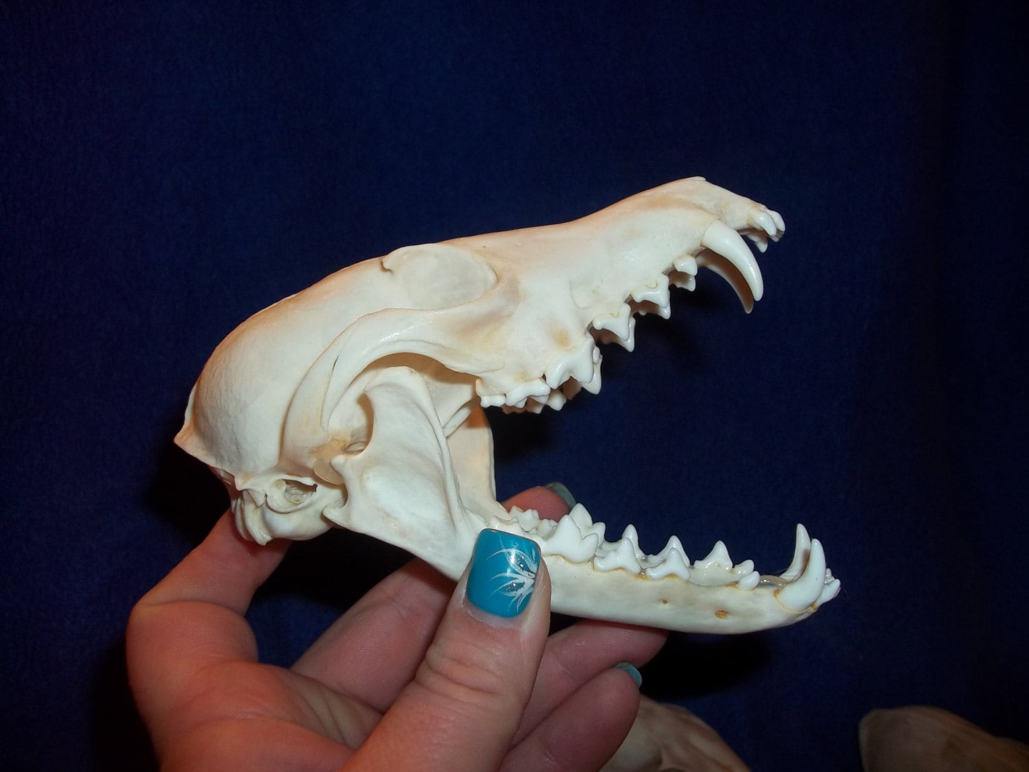 1 Real animal bone Red Fox Skull taxidermy skeleton head tooth