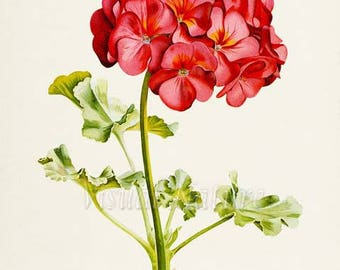 Geranium Flower Art Print, Botanical Art Print, Flower Wall Art, Flower Print, Floral Print, red, green, Geranium Art, Home Decor