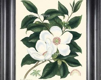 BOTANICAL PRINT ANDREWS 8x10 Botanical Art Print 13 Antique White Silky Camellia Large Blooming Flower to Frame