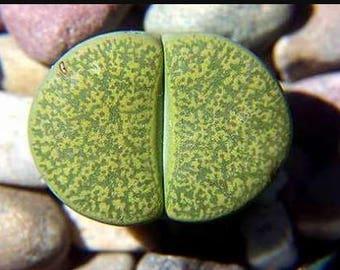 Lithops lesliei Albinica 10 seeds