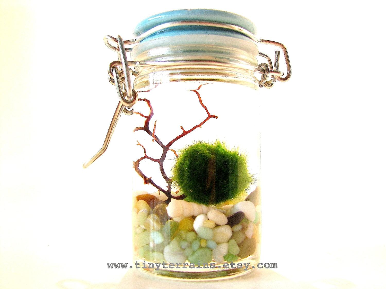 Huge Marimo Moss Ball in a Seashell Aquarium // Garden Decor ...