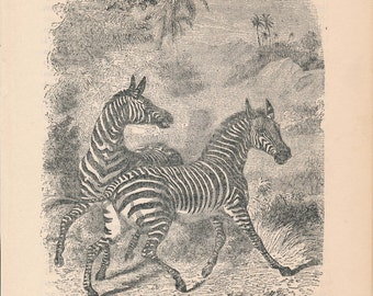 1887 Zebras Antique Print