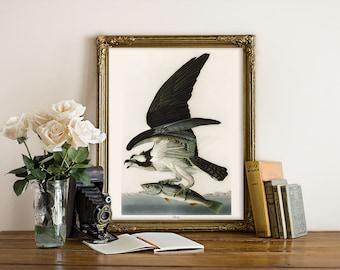 Vintage Osprey Illustration Print, Osprey Print, Vintage Natural History Illustration, Bird Art Print, Osprey Audubon Reproduction B042