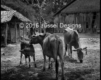 Vietnamese Village Cows