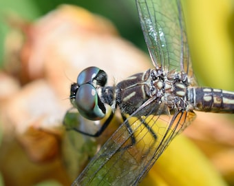 Blue Dasher Dragonfly Fine Art Photo Print - Insect Photos - Dragonflies - Dragonfly Photos - Wildlife Photography - Nature Photography