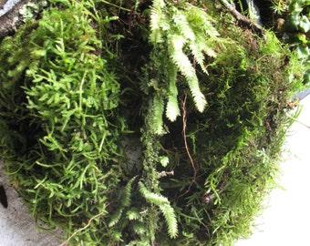 Large terrarium pack. plants # lichen # ferns ..live Tasmanian moss. For terrariums Bonsai Reptiles Frogs.