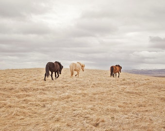 Modern Horse Photograph in Color, Icelandic Horses, Physical Print