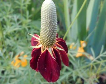 Brown Prairie Coneflower Seeds, Brown Coneflower Seeds, Rare Cut Flower Seeds, Rare Perennial Flower Seeds, FREE SHIPPING in the U.S.