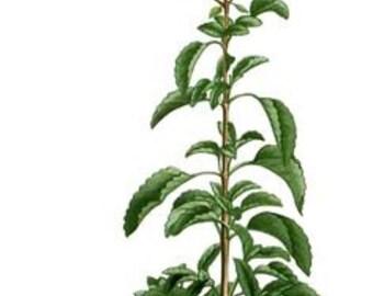 Holy Basil Essential Oil - Ocimum tenuiflorum - 100% Pure