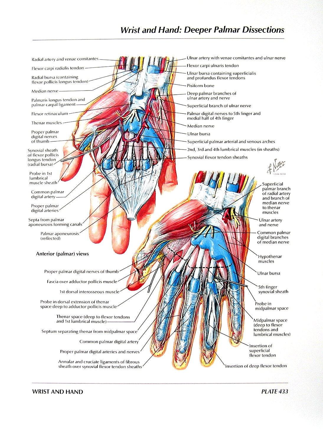 Anatomía grabado muñeca de la mano Palmar disecciones