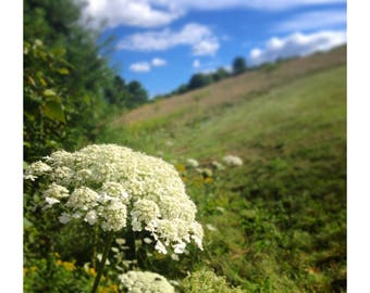 White Flower Vermont Hillside, Photography, Fine Art, wild flower
