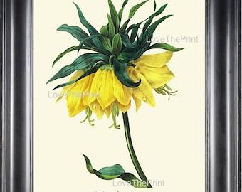 BOTANICAL PRINT Redoute Flower  Botanical Art Print 47 Fritillaria Imperial Crown Kaiser's Crown Yellow Plant Garden Nature to Frame