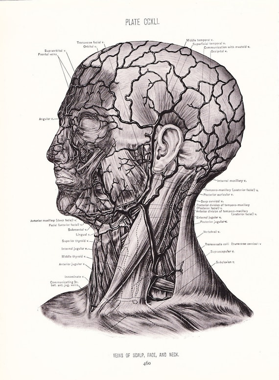 1926 Human Anatomy Print Veins of Face Neck and Scalp