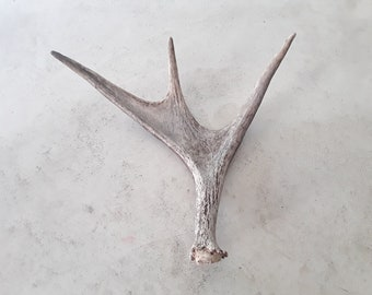 Beautiful natural real moose antler shed design decor crafts art centerpiece gift rustic antlers display