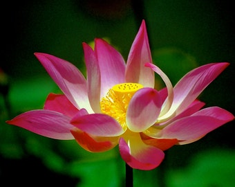 Lotus in Bali-Fine Art Photo Blank Greeting Card--Suitable for Framing-Protected by Copyright