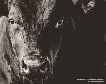 Big Black Angus Bull Very Closeup - Farm Animal - Cattle -Photography - Home Decor -Fine Art -Canvas Gallery Wrap - Wall Art