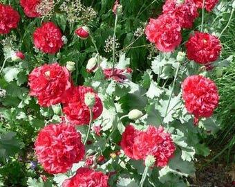 Peony Poppy- Bombast Red- 100 Seeds