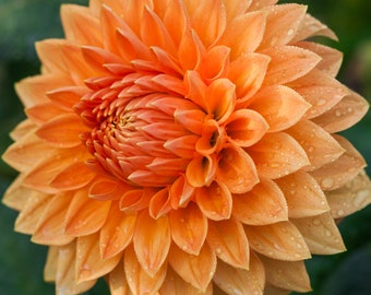 Orange Dahlia | Photo | Wall Art | Flower