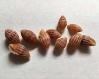 Hawaiian adams miter shells set if 10