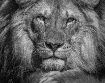 Lion Man Cave Art : Lion head photography art print lions home decor big cats