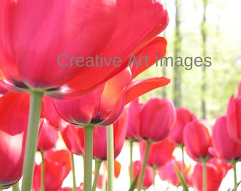 Red Tulip Garden, Red Tulip Canvas Print, Red Tulip Photograph #80