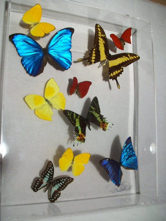11x3x14 wall panel of real colorful butterflies display - style LION