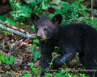 Black Bear Cub in Great Smoky Mountains. #3473