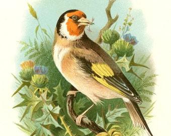 Antique GOLDFINCH BIRD on THISTLES - Digital Instant Download - nature avian songbird ephemera print collage supply