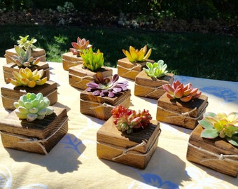 Succulent WEDDING Favors, Succulent Bridal Shower favor, Baby shower favor, Special Event Favor, Spring or summer