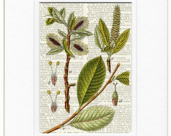 Salix glabra botanical print