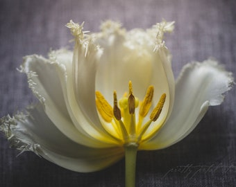 Fine Art Print, Flower Photo, Tulip Photo, Parrot Tulip Art, Garden Chic Art, Spring, Cottage Art, Floral Decor, Botanical Print, Macro Art