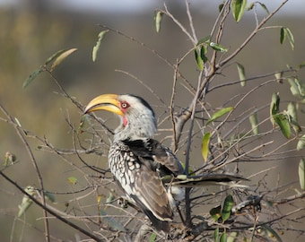 Yellow-billed Hornbill - Having a berry nice day.
