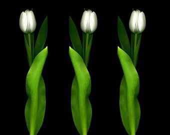 Flower Photography Tulips Fine Art Print, Botanical Gift, Flower Art, Wedding, Flower Print, Garden Decor, Large Wall Art, Tulip Portrait