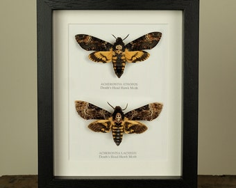 Atropos vs. Lachesis Deaths Head Hawk Moth in Box Frame Real Butterfly Frame