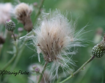 Thistle, Seed Head, Woodland, Nature Photography, Fine Art Photography, Print,  8 x 10 photography, Glossy, Wall Art, Unframed