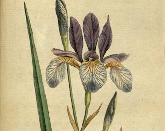 Flower illustration, Botanical drawing, Flower print, 50